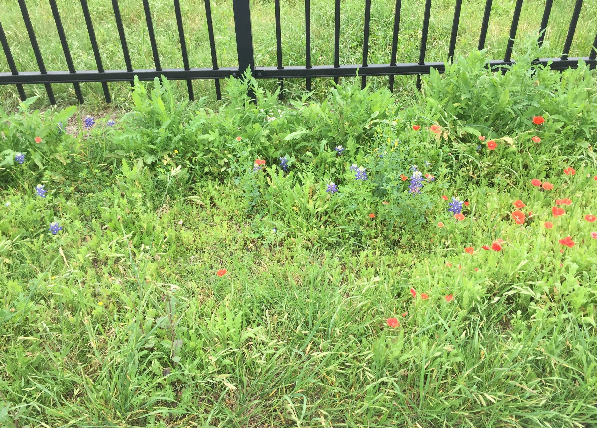 Photo of bluebonnets and poppies blooming at the CAF Hangar
