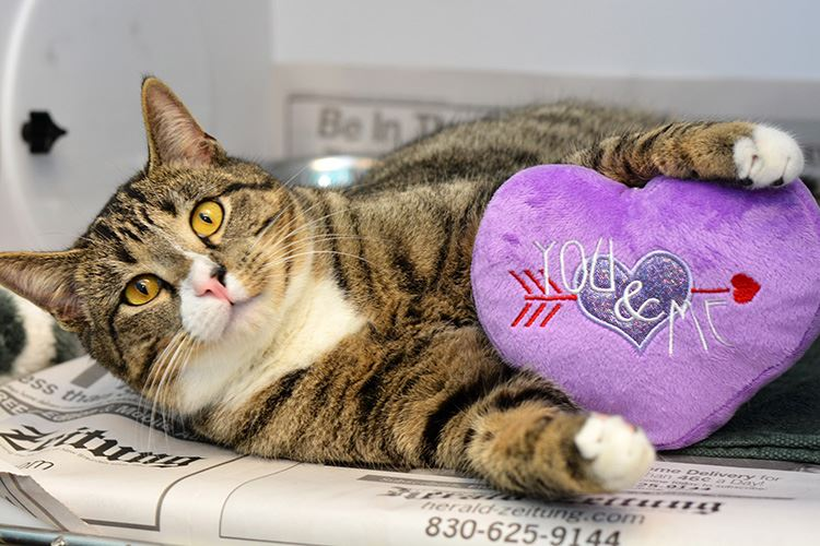 Tabby cat hugging heart pillow